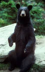endangered black bear