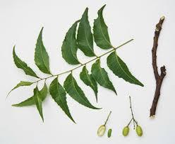 Bentuk daun dan buah mimba