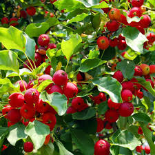 fruit trees pictures