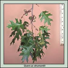 shumard oaks