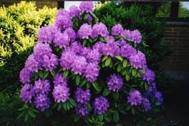 purple flower bushes