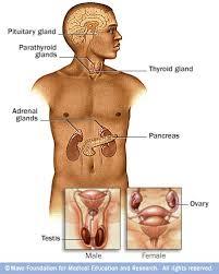 endocrine system pics