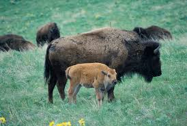 bison cow