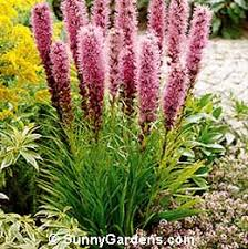 blazing star liatris