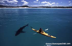 large great white sharks