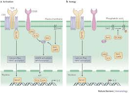 t cell activation pathway