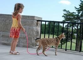 big pet cat