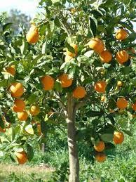 orange tree images