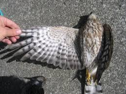 hawks wing