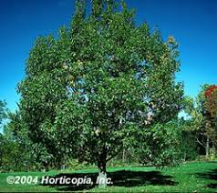chestnut oak trees