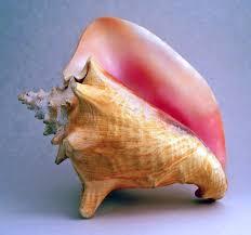 conch picture