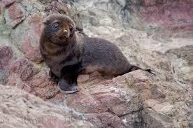 fur seal pups