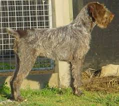 german wirehair puppies