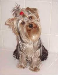 yorkshire terriers dogs