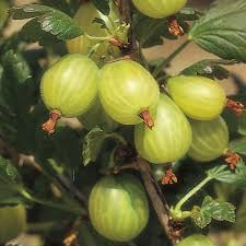 gooseberry green