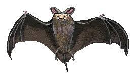 mammal bat