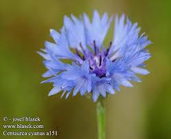 centaurea flower