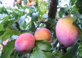 plum fruit tree