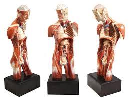 models anatomy