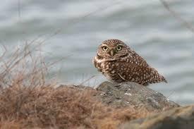 burrowing owl habitat