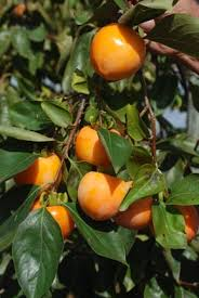 asian persimmons