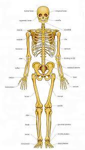 human bones pictures