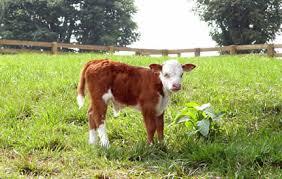calf picture