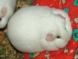 pictures of guinea pig