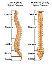 bones of the spinal column