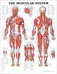 human body tendons