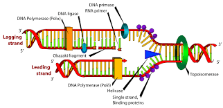 dna polymerase replication