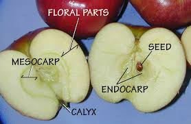 apple fruit parts