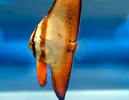 orbic batfish