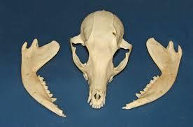 skull fox