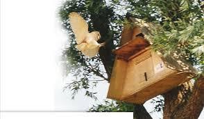 barn owl nesting