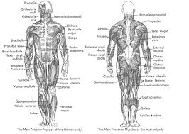 names of muscles in the human body