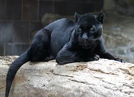black jaguar photos