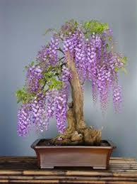 bonsai tree seed