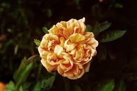 orange flowering shrubs