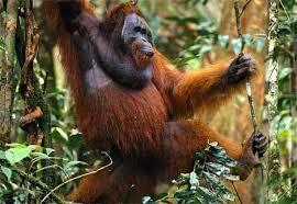orangutans pictures