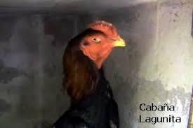 gallos shamo