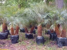 canary palm trees