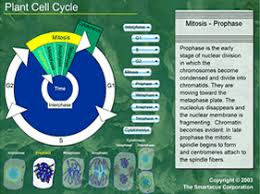plant cell cycle