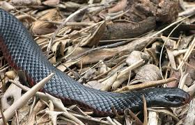 black snake with yellow dots