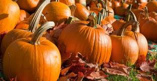 Pumpkin Picking Riverhead by Pumpkin Picking On Long Island Cosmoli