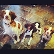Do Brittany Spaniels Shed Hair by 777 Best Dogs Images On Pinterest Brittany Spaniel Dog