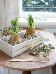 waxed amaryllis in a crate set of 2 easy care amaryllis gifts
