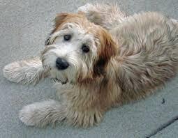 154 best soft coated wheaten terrier images on pinterest