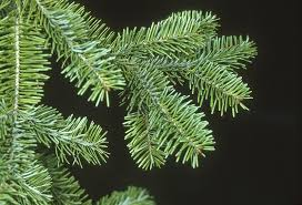 Popular Christmas Tree Species by University Of Bristol Botanic Garden Branching Out On Your Choice