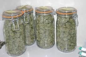 recolte cannabis exterieur date tutos récolte et séchage du cannabis